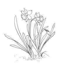 Daffodils : pen & ink